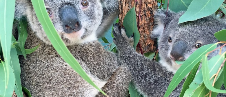 Have Breakfast With The Koalas