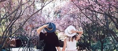 Sydney Cherry Blossom Festival