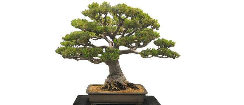 australian plants as bonsai exhibition 2018 canberra eventfinda. Black Bedroom Furniture Sets. Home Design Ideas