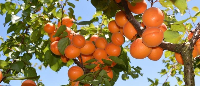 Awesome Apricot Season