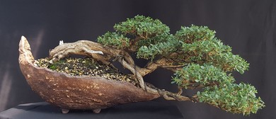 Australian Natives Breaking Through The Bonsai Ceiling