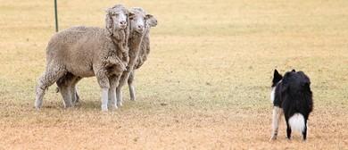 3 Sheep & Yard Dog Trial