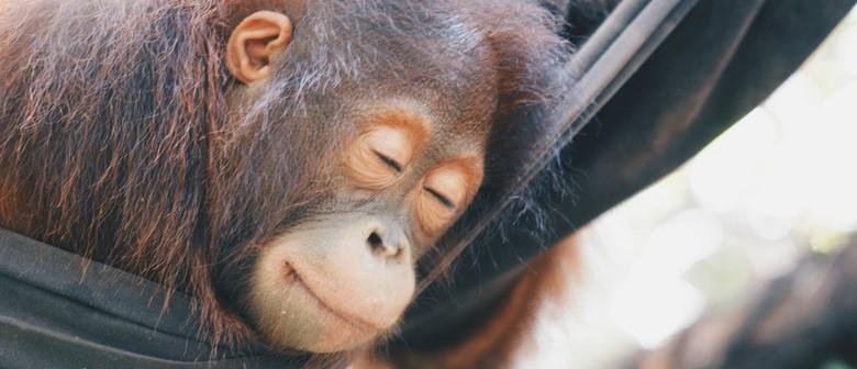 Orangutans On Tour